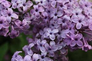 makro närbild av lila blommor i blom foto