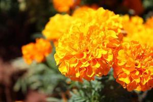 makro närbild av orange och gula ringblommablommor i blom på våren foto