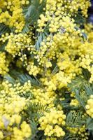 mimosa vårblommor trädgren foto