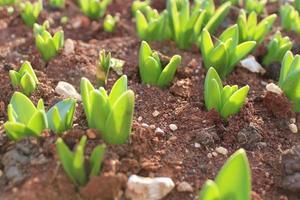 makro närbild av gröna växtspiror och plantor i jord foto