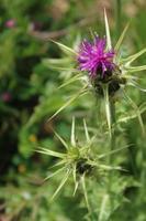 makro närbild av en lila stjärntistel i sin naturliga miljö foto
