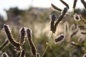 lavendelväxt på våren med makrodetaljer