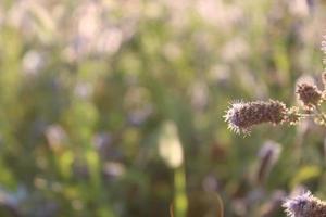 lavendelväxt på våren med makrodetaljer foto