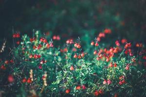 små röda blommor av salvia foto