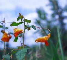 närbild av impatiens capensis eller orange juvelväxtväxt foto
