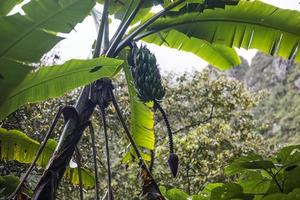 vy på bananplantage