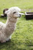 söt liten baby alpacka foto