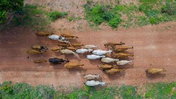 Flygfoto ovanifrån av massorna av många kor som går på landsbygden, Thailand foto