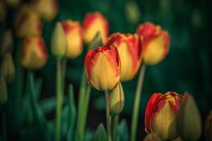 röda och gula tulpaner