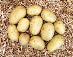 potatis på en bädd av hö eller halm foto