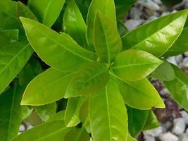 närbild av gröna blad i buske foto