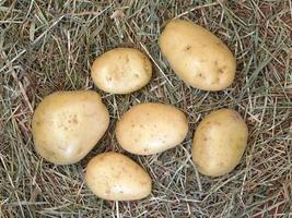 potatis på hö- eller halmbakgrund foto