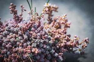 liten blommande växt av korsikansk stonecrop foto