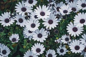 vita blommor av afrikansk tusensköna foto
