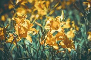 gula blommor och knoppar av daglilja foto
