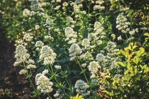 bakgrund av vita blommor buskar