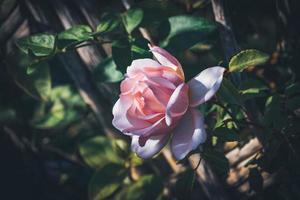 närbild av en odlad rosa ros foto