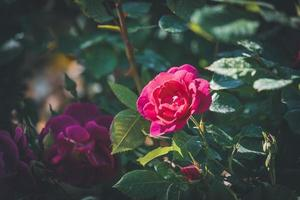 rosa ros i blom foto