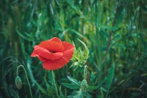 röd vallmoblomma i ett fält med högt gräs foto
