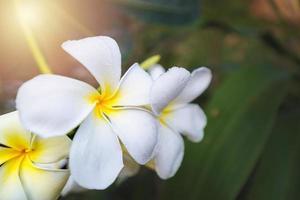 vita plumeria blommar