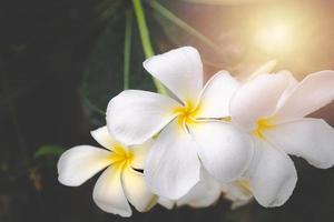 plumeria blomma blommar