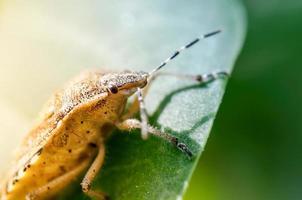 sköld bug, även känd som stink bug på en växt