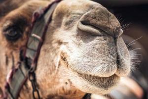 närbild av en kamels ansikte