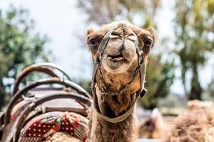 en nyfiken kamel