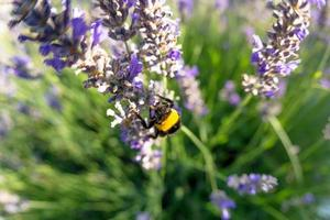 bombus terrestris och lavendelblomman
