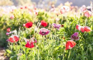 färgglada vallmo blommor under dagen foto