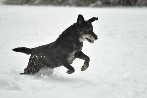 svart glad hund som kör i snön foto