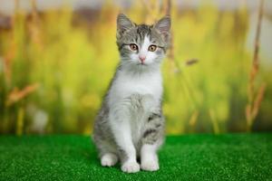 silver tabby katt sitter på grön bakgrund foto