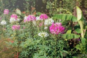 rosa blommor i trädgården