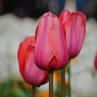 röda rosa tulpan blommar i en trädgård under vårsäsongen foto