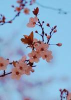 sakura blomma för körsbärsblom under vårsäsongen foto
