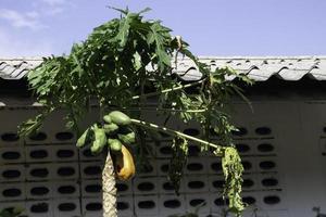 papaya är mogen på trädet foto