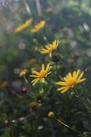 gula tusenskönablommor i en trädgård