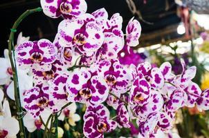 lila och vita orkidéer