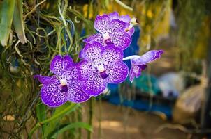 lila orkidéblommor