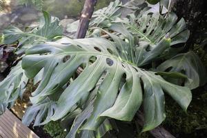grön monstera växt