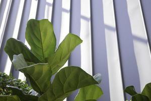 fiolblad fikon på nära håll foto