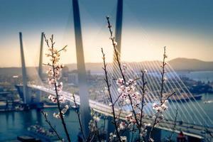 körsbärsblommor på grenar med suddig gyllene bro i bakgrunden i Vladivostok, Ryssland foto