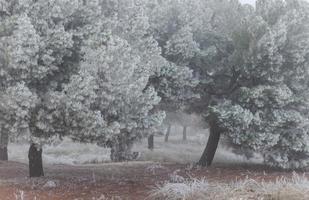 en frusen tallskog en vintermorgon i castilla