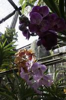färgglada orkidéer i ett växthus foto