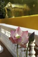 rosa blomma vid ett tempel