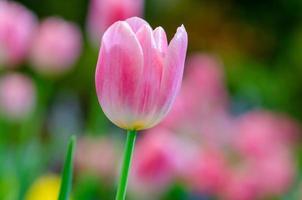 närbild av en rosa tulpan foto