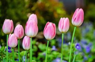 grupp rosa tulpaner foto
