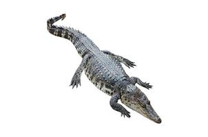 krokodil på en vit bakgrund foto