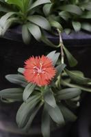 röd blomma i trädgården