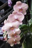 rosa orkidéväxt i trädgården
